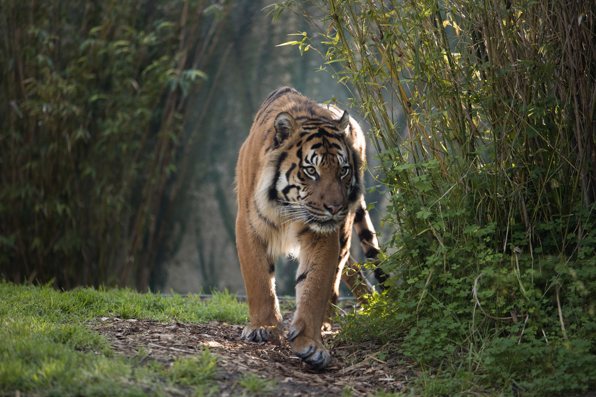Sumatran Tiger Image 3, Alex Cearns_0